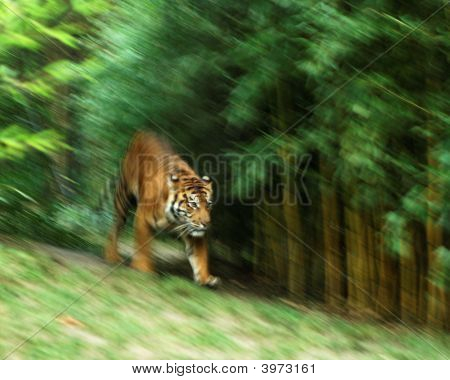 Cgarging Tiger