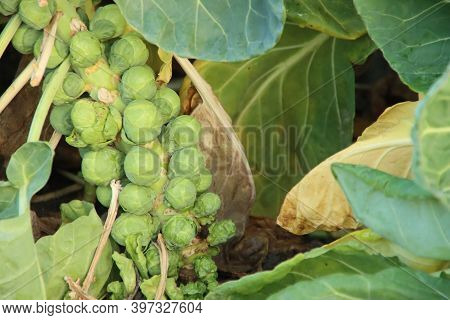 Green Brussels Sprouts On A Plant In A Field In Zevenhuizen In The Netherlands