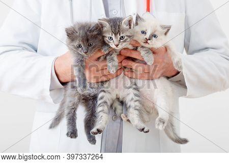 Cat In Vet Doctor Hands. Doctor Veterinarian Examining 3 Three Kittens. Baby Cats In Veterinary Clin