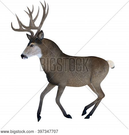 Male Mule Deer 3d Illustration - Large Ears And Spiked Antlers Are A Feature Of The Mule Deer Which