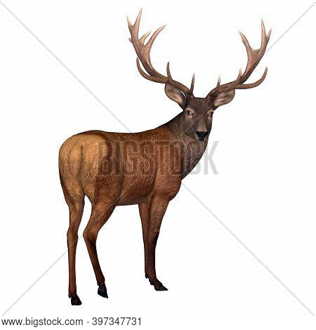 Red Stag Deer 3d Illustration - The Red Deer Is Native To Europe, Asia, Iran And Africa Is One Of Th