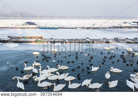 Flock Of Swans, Black And White Types On The Frozen Danube River, In Zemun, Belgrade, Serbia With Ic