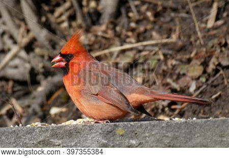 Red Cardinal Bird Sitting On The Stone And Eating Seeds