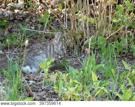 The Grey Hare Sitting In The Bush