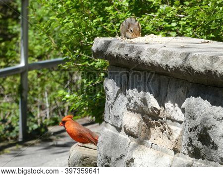 Squirrel And Cardinal Bird On The Stone Fence Eating Seeds