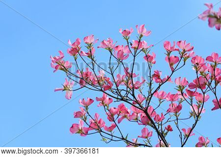 Spring Red Flower Blooming On The Tree Branch