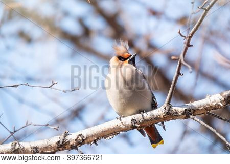 Bohemian Waxwing Sitting On The Branch In Winter Or Early Spring Day. The Waxwing, A Beautiful Tufte
