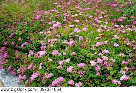 Spirea Bumalda Pink Meadow Sweet Plantain Detail Of Flowering Shrub Up To 1 Meter In Height Blooms I