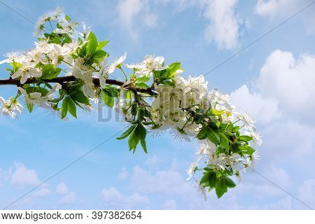 White Apple Blossom. Beautiful Orchard Details Ona Sky Background  In Springtime. Sunny Weather