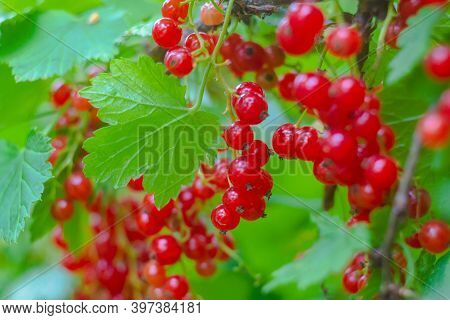 Sun Rays, Delicious Berries In The Garden. A Branch Of Ripe Red Currant In The Garden. Red Sweet Ber