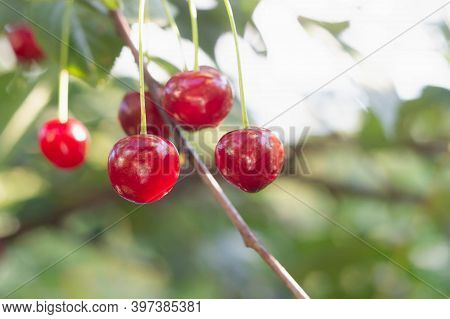 Red Berry Of A Ripe Cherry On A Tree Close-up. Ripe Juicy Cherry, Macro Photo. Cherry Ripe In The Su