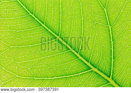 Close Up Of Green Leaves Nature Background. Nature Background Of Tree Leaves. Tree Leaves Nature Bac