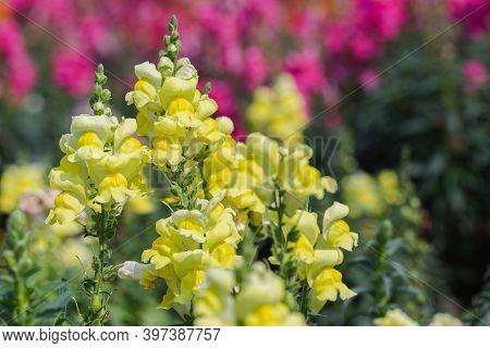 Snapdragon Flower. Colorful Flower. Flower In Garden At Sunny Summer Or Spring Day. Flower For Postc