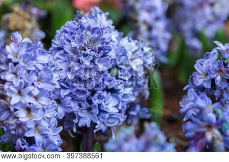 Hyacinth Flower. Colorful Flower. Flower In Garden At Sunny Summer Or Spring Day. Flower For Postcar