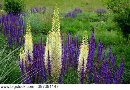 Prairie Eremurus Stenophyllus Salvia Nemorosa Tuberous Yellow Flowers With Oblong Flowers Combined W