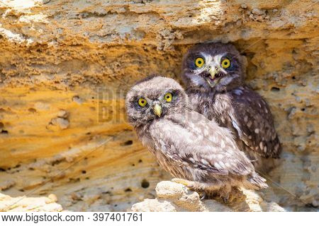 Two Chicks Of Little Owl Near Nest On Ground.