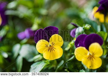 viola flowers in the garden