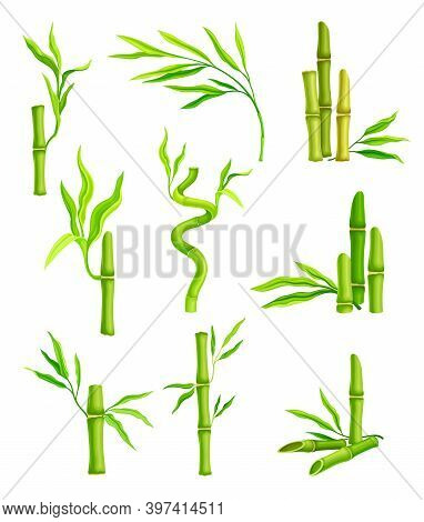 Bamboo Evergreen Plant With Hollow Stem And Green Foliage Vector Set
