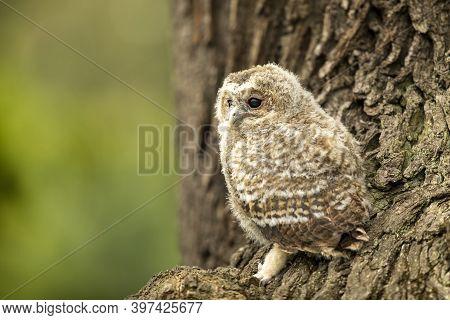 Nesting Of Tawny Owl - On Oak Tree In Forest. Bird Of Prey Sitting On Oak Tree. Wildlife Scene From