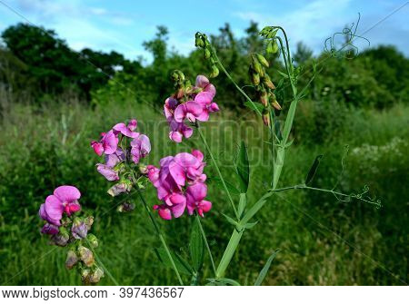 Lathyrus Odoratus Is An Annual Herb With Climbing Or Recumbent Stems That Attach Tendrils To Almost