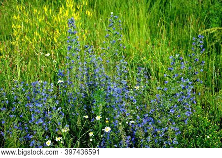 Forms A Ground Rosette Of Light Green, Lanceolate Leaves With A Long Stalk. At The Beginning Of Summ