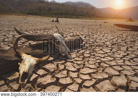 Skull Animal On Dry Land. The Drought Land Texture In Thailand. The Global Shortage Of Water On The