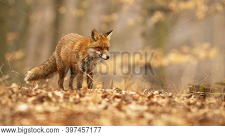 Cute Red Fox With Fluffy Tail Wandering Through Young Trees