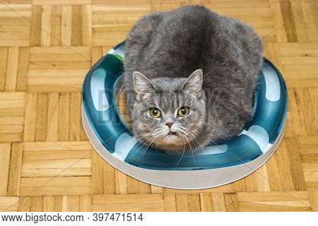 A Cute British Cat Is Lying Inside The Circle Made Of Its Toy. She Is Looking A Bit Popped And Dumb.