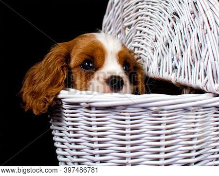 Young Cavalier King Charles Spaniel Dog In A Wicker Shopping Cart