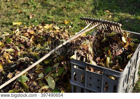 Stacking Fallen Leaves In Autumn Using Rakes Into A Plastic Box