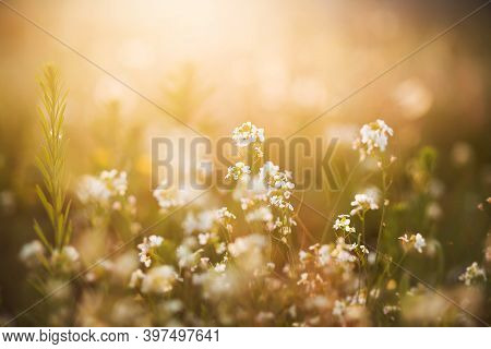 White Delicate Flowers Grow Among The Grass In The Meadow, Illuminated By The Bright Rays Of The Ris