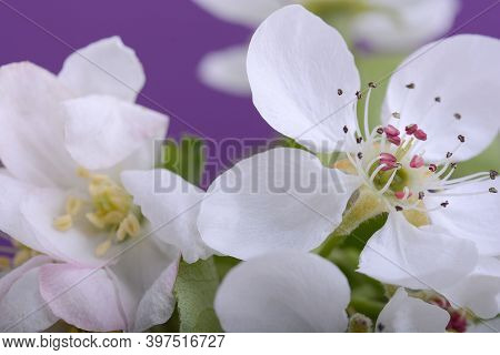 Apple Tree Blossom Flower On Branch At Spring. Beautiful Blooming Apple Flower Close Up