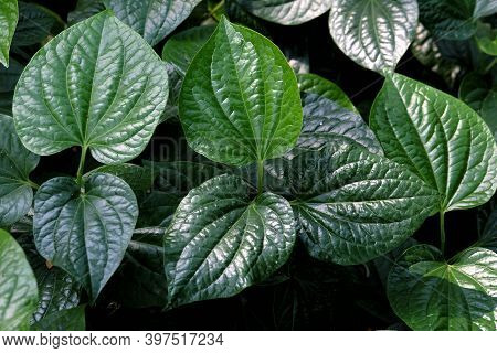 Wild Betal Leafbush Growing In A Garden With Dark Background