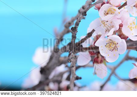Apple Tree Blossom Flower On Branch At Spring. Beautiful Blooming Flower Close Up On Blue Background