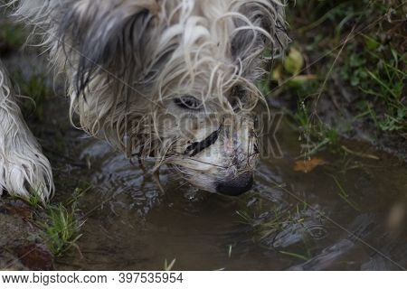 The Dog Drinks From A Puddle. Dog Hunting In The Forest. The Animal Follows The Trail. The Fluffy Pe