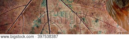 Panoramic View Of Dry Maple Leaf With A Beautiful Texture. Leaf Surface Close-up.