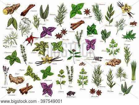 , Herbs, Seasonings Vector Ginger, Cinnamon And Bay Leaves, Dill, Rosemary Or Sage. Tarragon, Basil