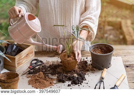 Woman Transplanting Plant A Into A New Pot And Watering Plant In The Garden, Hobbies And Leisure, Ho