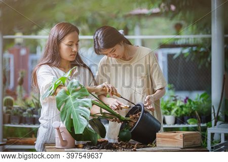 Two Asian Women Are Helping To Replace A New Pot For The Monstera Plant Or Split-leaf Philodendron (