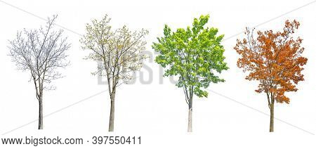 four seasons maple tree isolated on white background