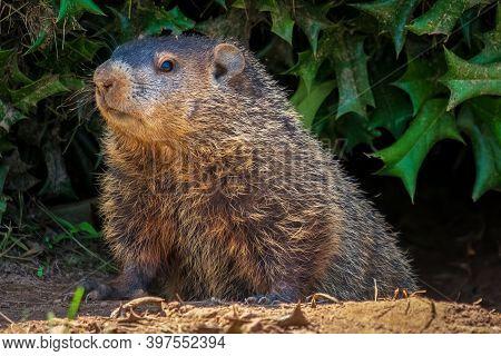 A Groundhog (marmota Monax) Under A Holly Bush. Raleigh, North Carolina.