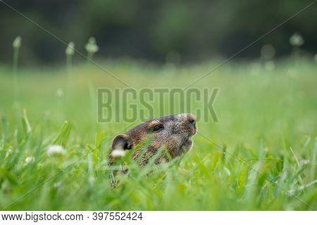 A Juvenile Groundhog (marmota Monax) Cautiously Peeks From Its Hole. Raleigh, North Carolina.