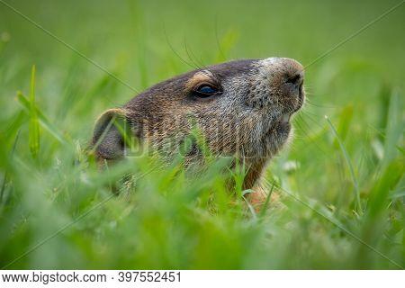 Profile Of A Juvenile Groundhog (marmota Monax) Peeking From Its Burrow. Raleigh, North Carolina.