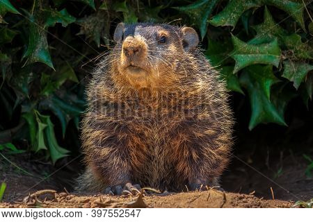 A Groundhog (marmota Monax) Peeking Out From Under A Holly Bush. Raleigh, North Carolina.