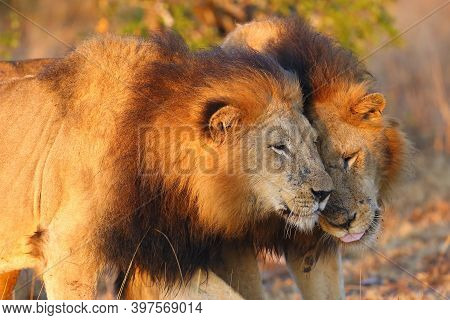 The Transvaal Lion (panthera Leo Krugeri), Also Known As The Southeast African Lion Or Kalahari Lion