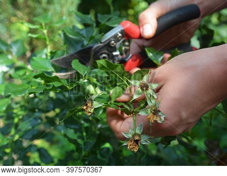 A Gardener Is Caring Of Rose Bush By Deadheading, Pruning Roses With Pruning Shears To Encourage Mor