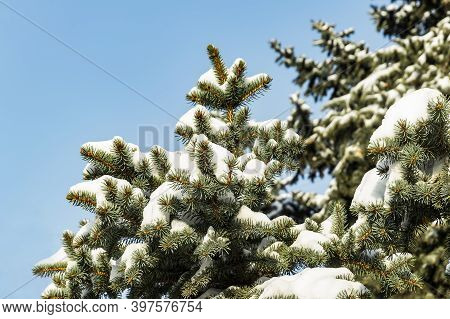 Snow-covered Evergreen Tree. Christmas Tree Branches Covered With Snow In Winter On A Sunny Day. Sno
