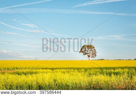 Agricultural Canola Fields Landscape With Pretty Blue Sky And Large Gum Tree In View.