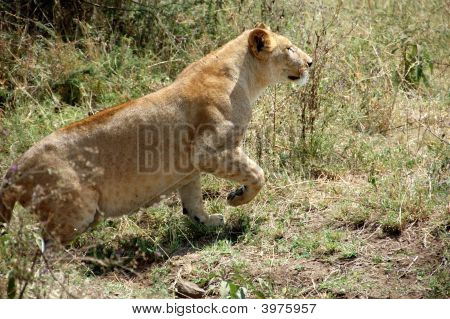 Lioness In The Serengeti