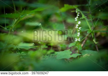 Goodyera Repens. Orchid. Nature Of The Czech Republic. Wild Nature. Plant In The Forest. Beautiful P